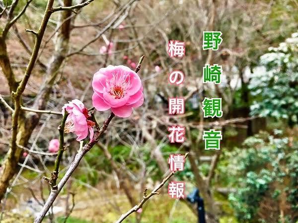 野崎観音 梅の開花情報